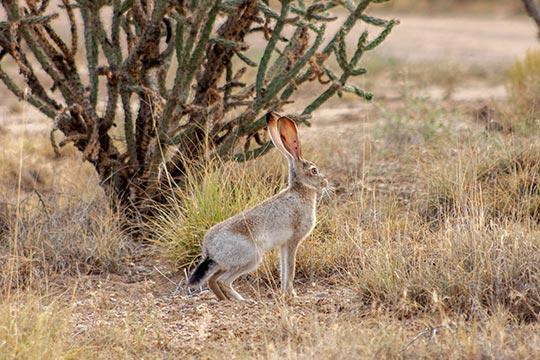Los Lunas Rabbit